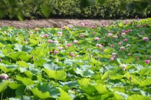 Les lotus commencent à fleurir enfin...